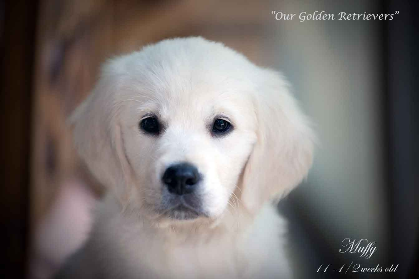 White Golden Retriever Puppies Ct Akc Certified Holistic Nj Md Ma Pa De Ny Ca Az Tx Nh Ri Oh Vt English White Golden Retriever Puppy Golden Retriever Retriever