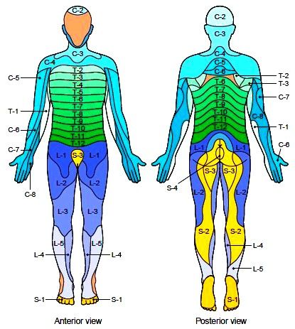 Myotome And Dermatome Chart Google Search Chiropractic School