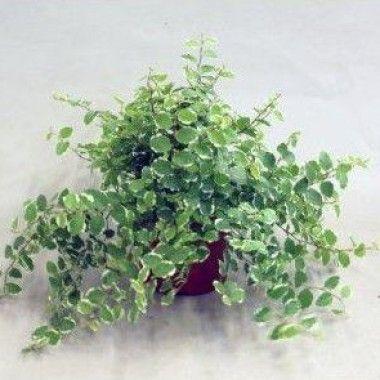 Ficus pumila 'White Sunny' (mini plante)