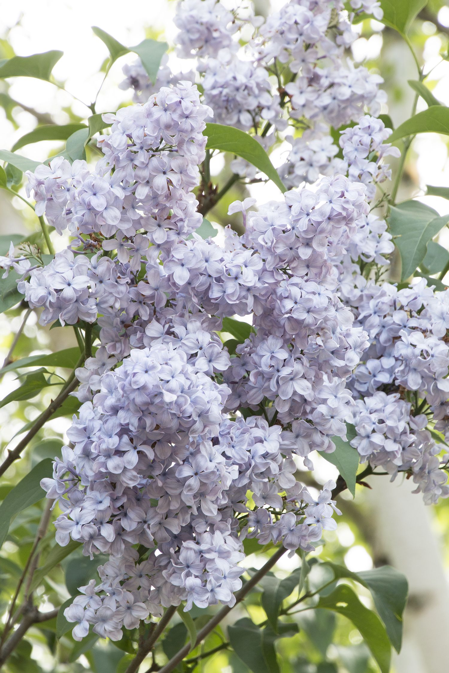 Blue Skies Lilac One Of The Best Lilacs For Warm Winter Areas Spectacular Clusters Of Light Lavender Blue Flowe Flower Garden Plans Blue Flowers Garden Lilac