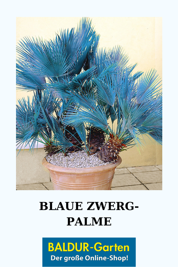 Blaue Zwerg Palme 1a Qualitat Kaufen Pflanzen Sommerblumen Und Balkon Pflanzen