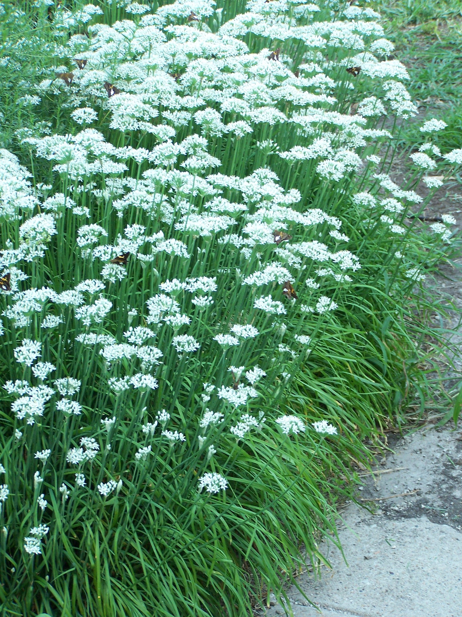 What Can I Do With My Herbs Grimm S Gardens Chives Plant Medicinal Herbs Garden Plants