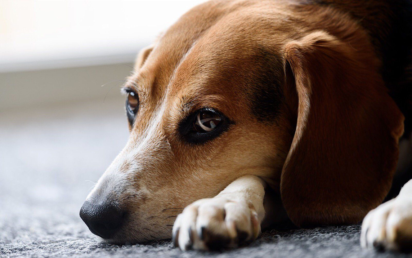 Beagles Have Holes Drilled In Their Heads At This Horrific