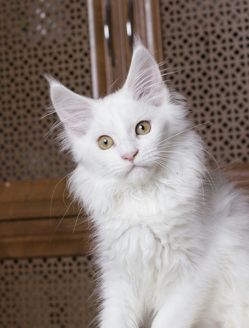 Пин на доске Cattery maine coon Estate Pearls*RU