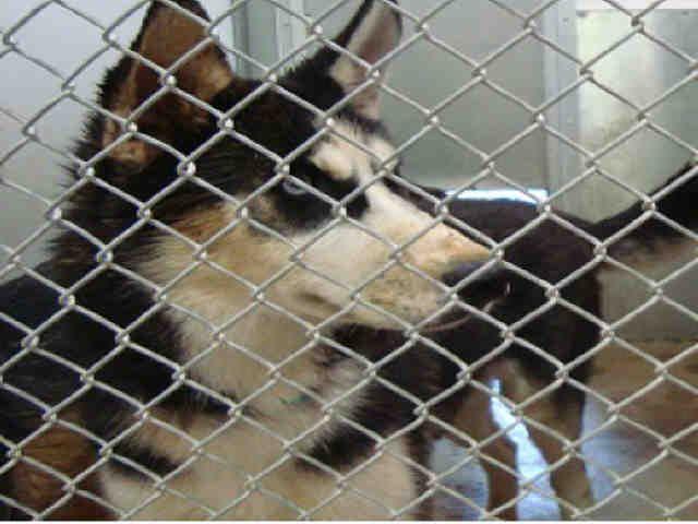 Dies 09 29 14 Kayla Breed Siberian Husky Mixed Medium Coat