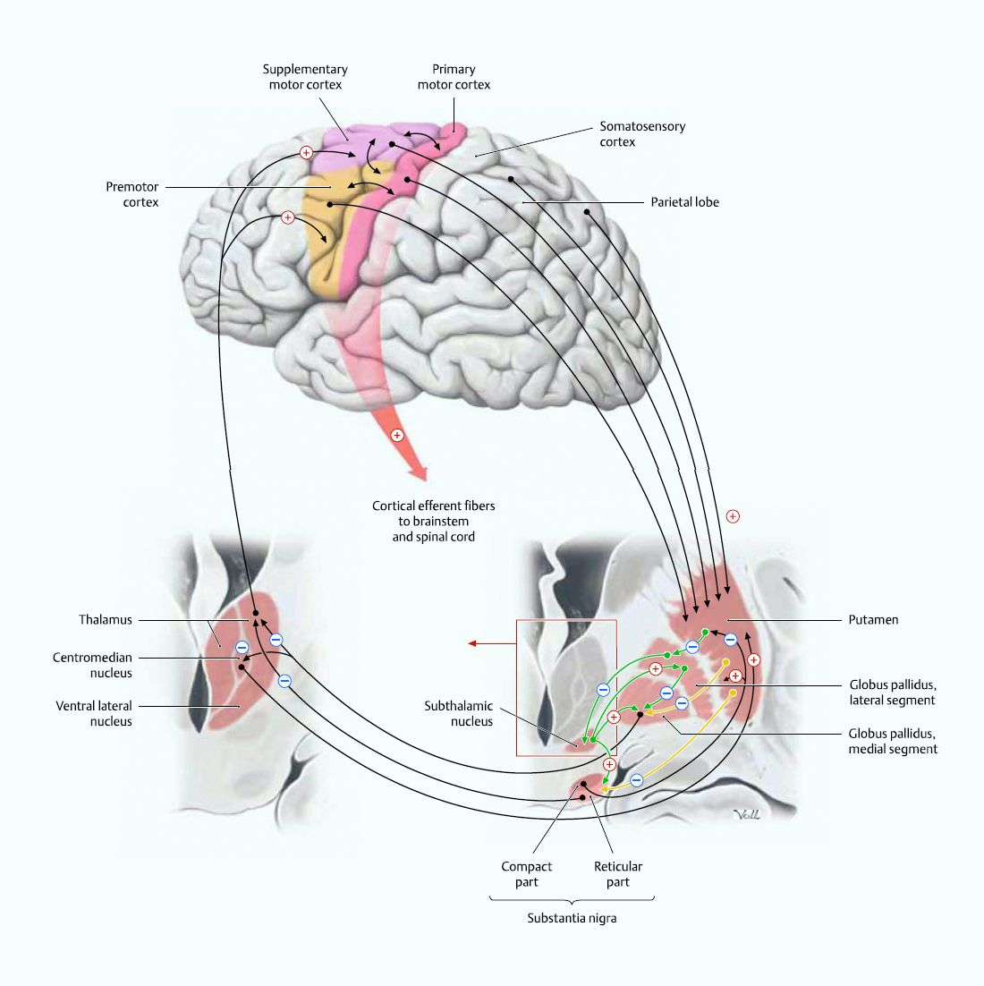 Flow of information between motor cortical areas and basal ganglia ...