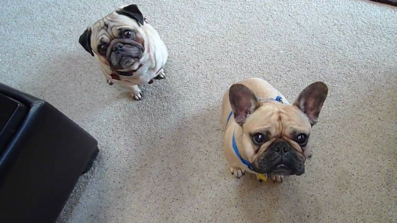 Pug And French Bulldog Look Perpetually Perplexed And They Are