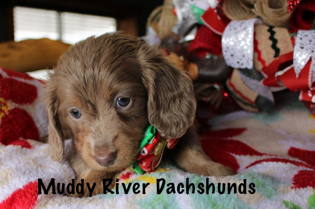 Akc Miniature Dachshund Breeder Dachshund Puppies For Sale