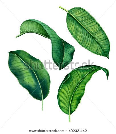 Hand Painted Watercolor Botanical Tropical Leaves Isolated On A White Background Banana Palm Leaf