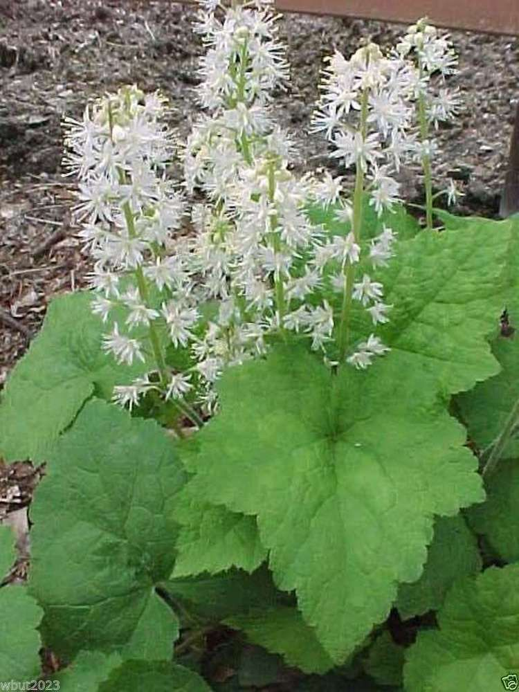 50 foamflower seeds tiarella wherryiperennialshade