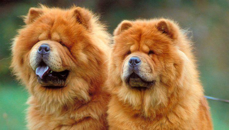 Razas De Perros Exoticos Mas Bellos Del Mundo Razasdeperross Com