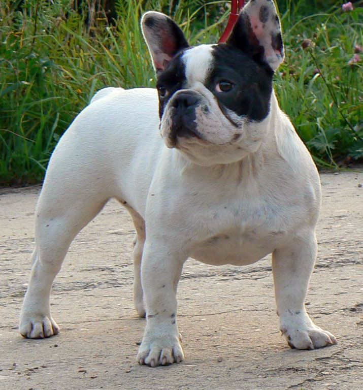 What's better than a Bulldog? A huge bulldog. www