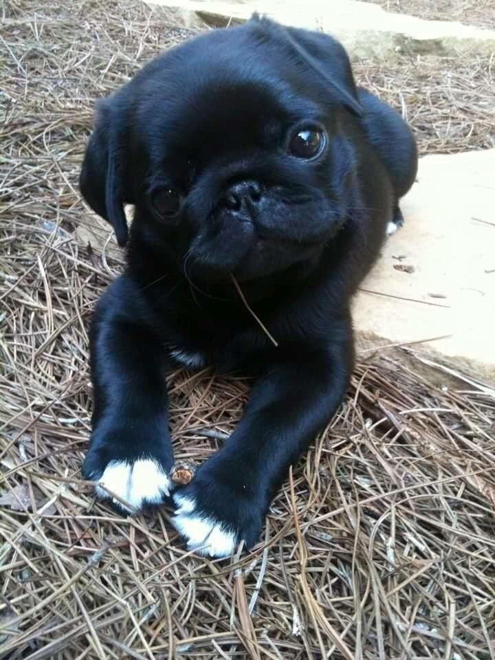 Black pug. Omg the cuteness is melting my heart.