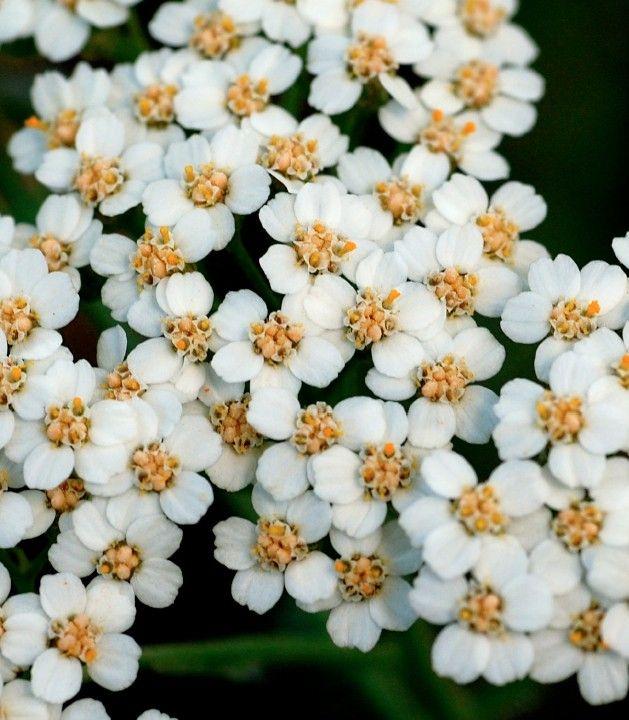 Yarrow Flower Essence Yarrow Flower Flower Essences Yarrow