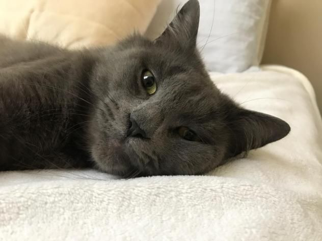 Adopt Ashton On Russian Blue Cats Pets