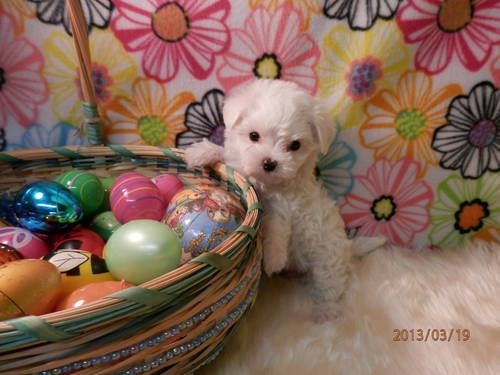 Akc Maltese Puppy Male Avery Baby Animals Maltese Dogs Puppies