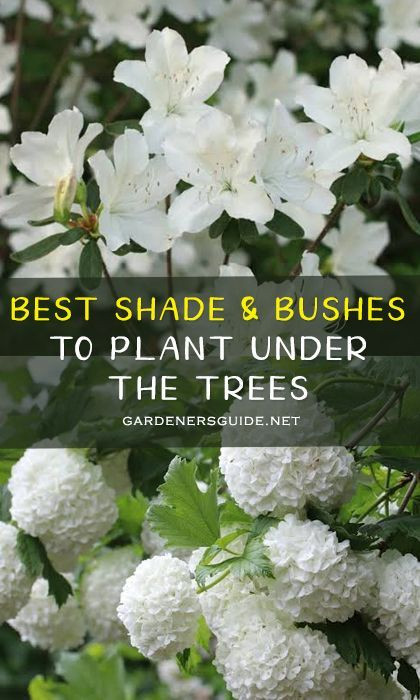 7 Shade Loving Shrubs And Bushes To Plant Under Trees - Gardeners' Guide
