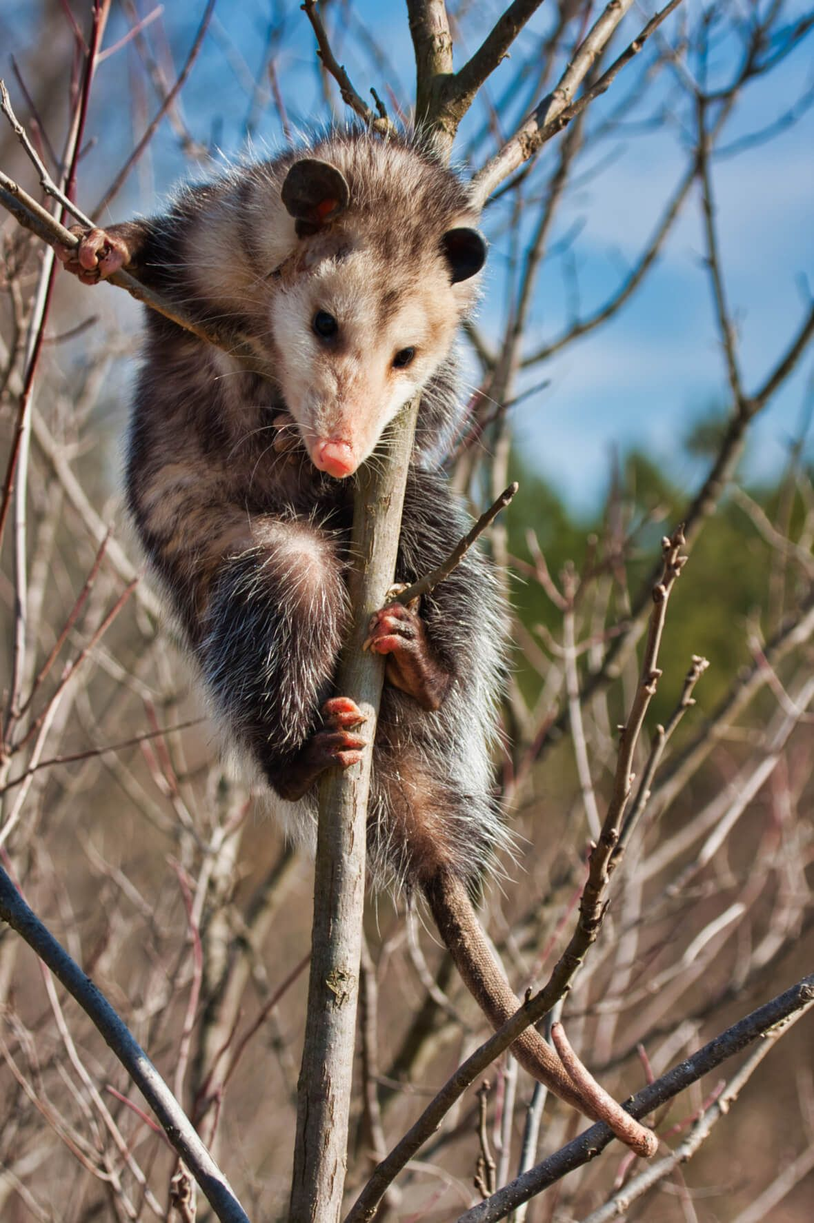 Opossum In A Tree - Fort Chaffee - Arkansas | Wildlife and Nature
