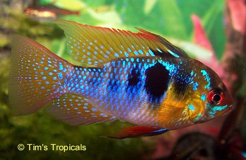 German Blue Ram Cichlid I Have 3 Of These Guys Amd They
