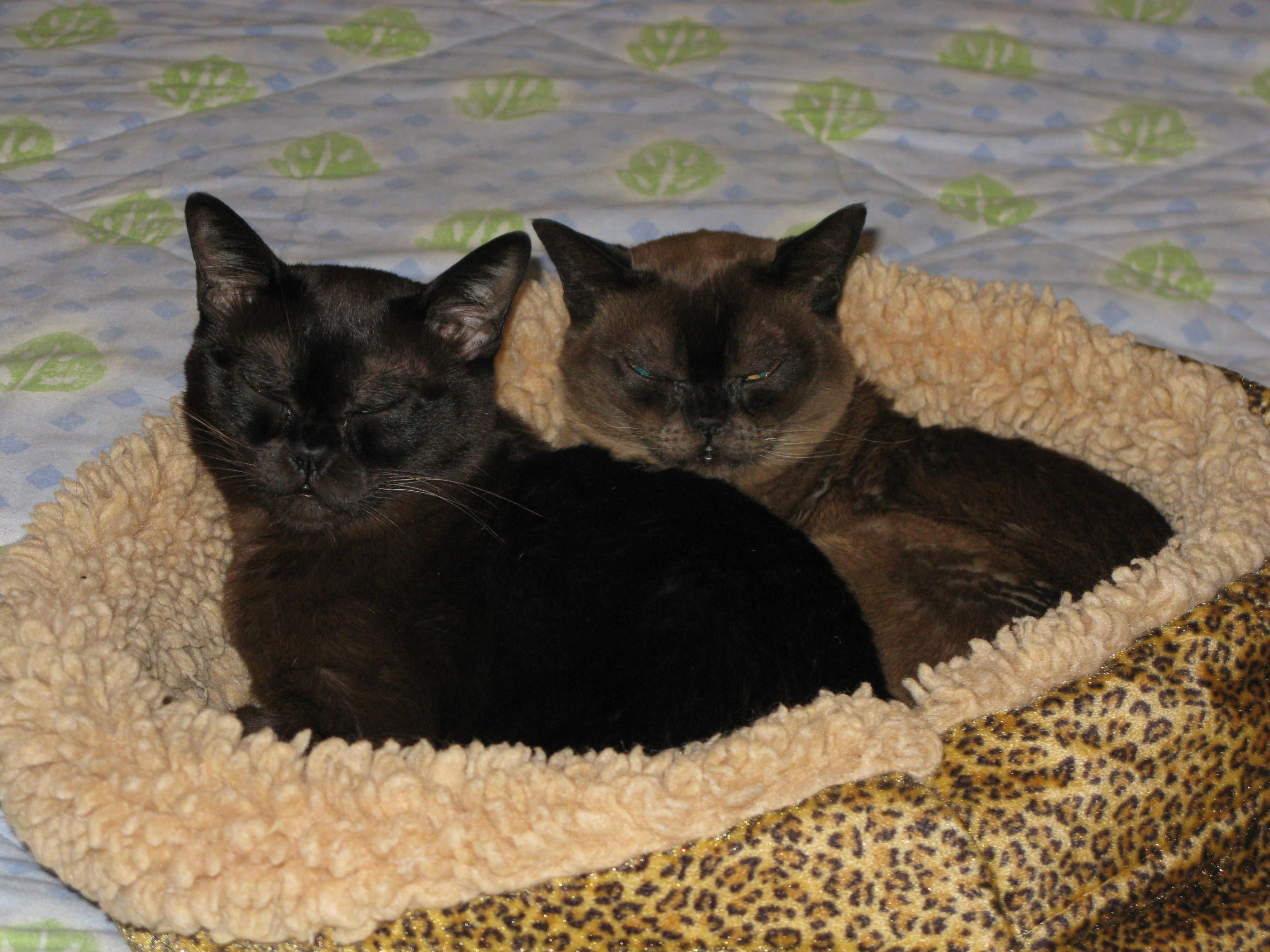 Tenzin And Mei Mei Burmese Cat Cats Animals
