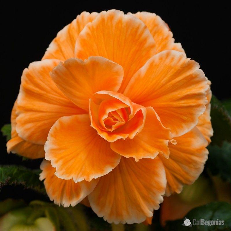 Amerihybrid Apricot Picotee Lace Begonia Calbegonias Com Bulb Flowers Begonia Flowers
