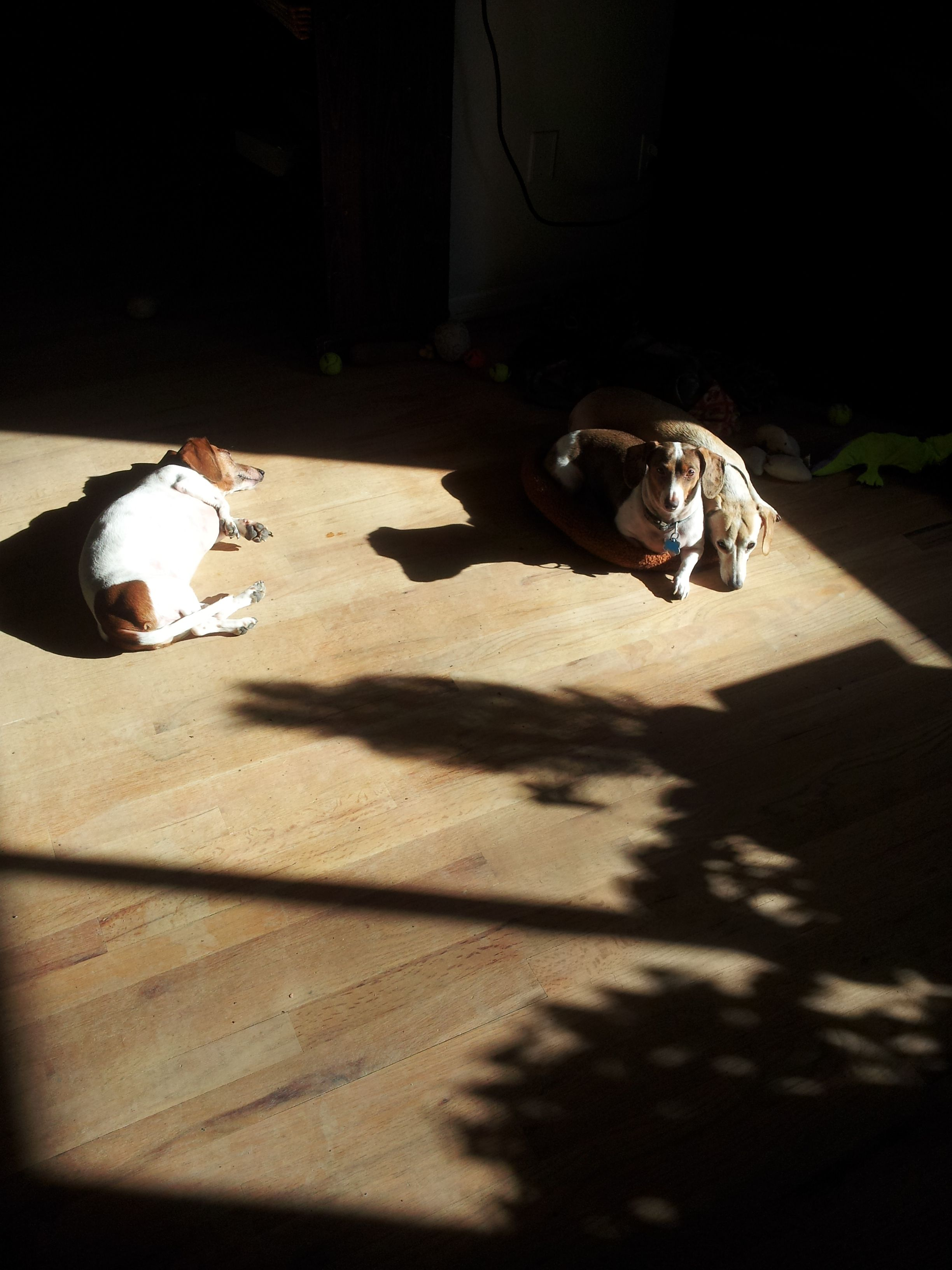 My dachshunds napping in the sun.