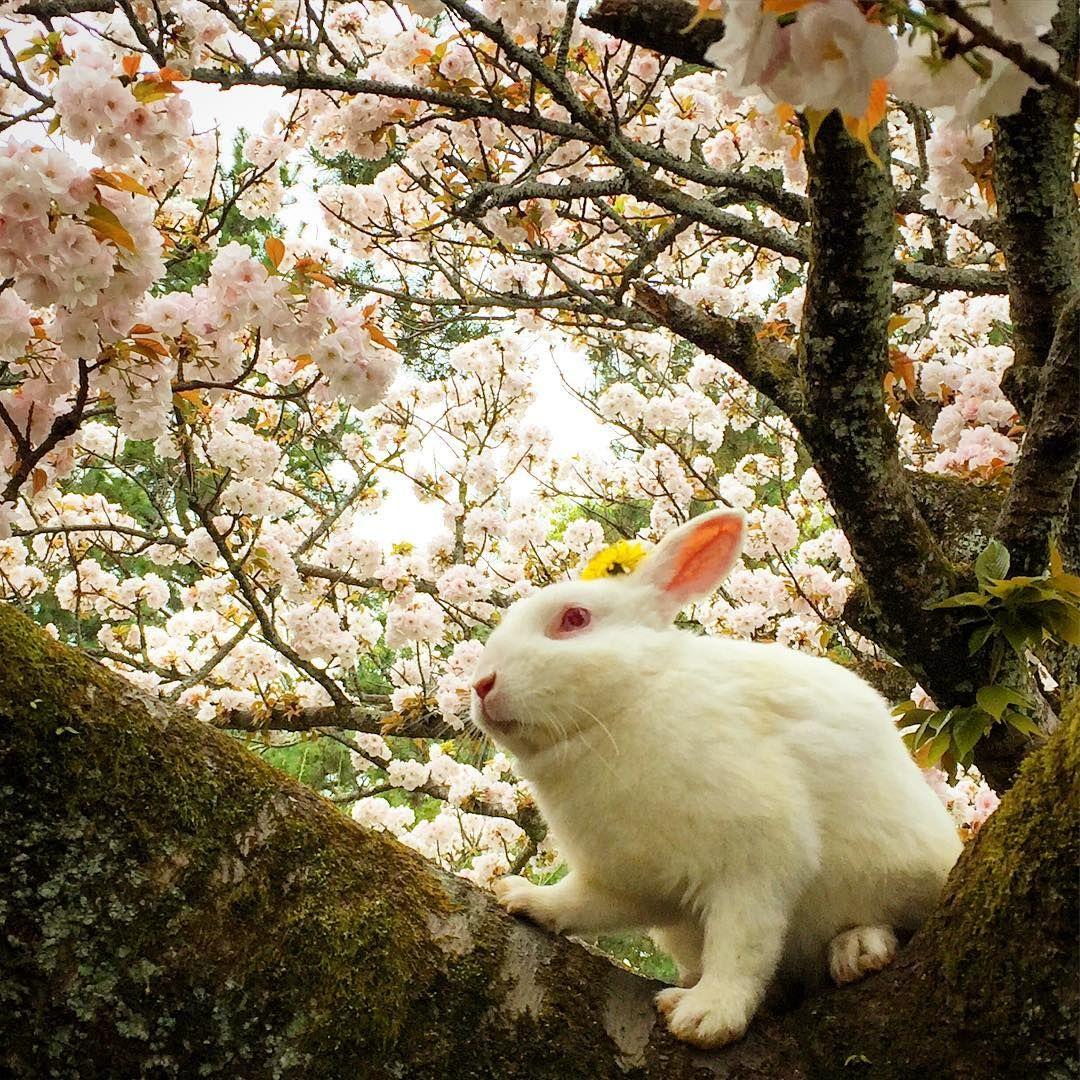 This Beautiful White Rabbit Sitting On A Sakura Tree In Japan Oc Music Indieartist Chicago Sakura Tree Sakura Cute Pictures