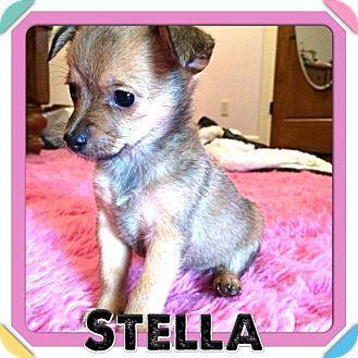 Stella Adopted Puppy Houston Tx Chihuahua Shih Tzu Mix Puppy Adoption Kitten Adoption Puppies