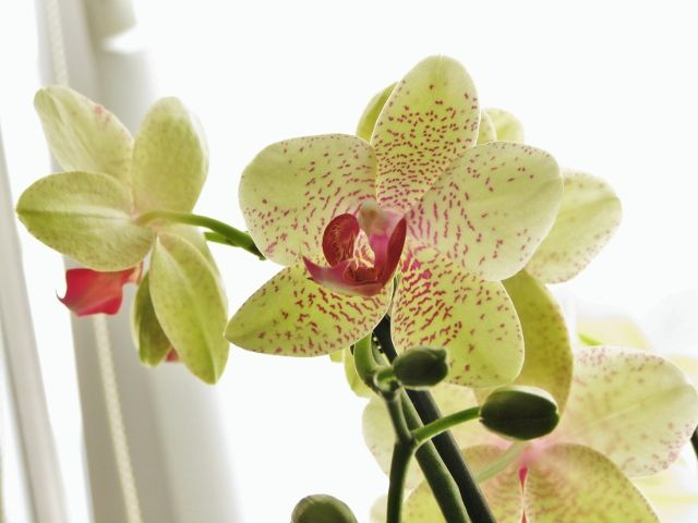 Lovely Phalaenopsis / Orchid.