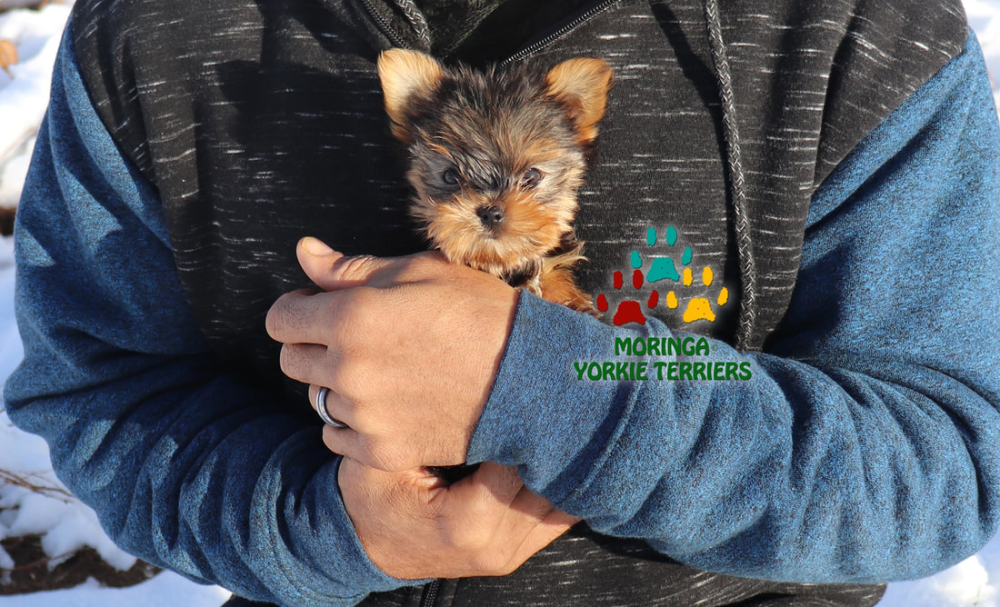 Yorkie Terriers Photography Gallery Socal Yorkie Terrier Puppies Teacup Puppy Photos Yorkie Puppies For S In 2020 Yorkie Terrier Teacup Yorkie Puppy Teacup Puppies