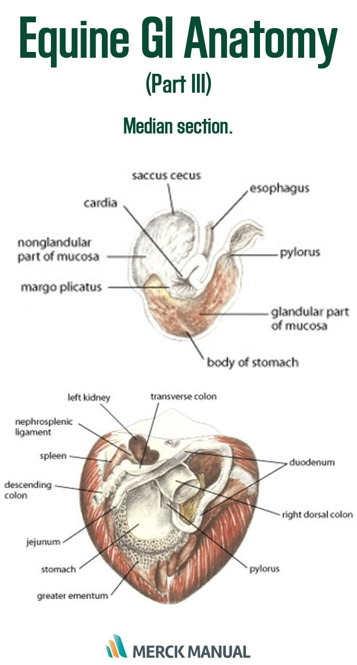 small resolution of learn more about the complexity of the gi system of horses vettechlife