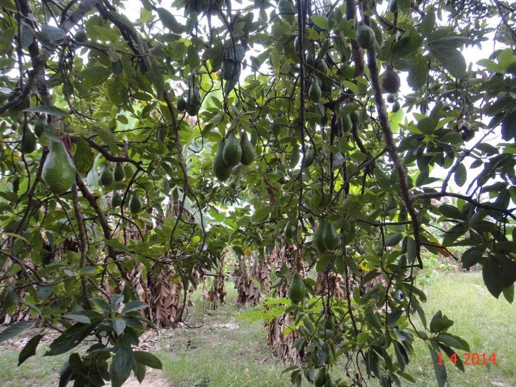 Avocado Tree Philippine Fruits Fruit Trees
