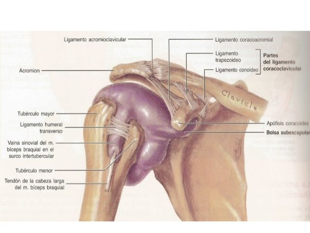 Presentación de las articulaciones de miembros superior. | Anatomia ...
