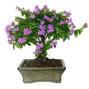 Edad 5 Años Arbusto De Hoja Perenne Apreciado Por Sus Pequeñas Hojas Y Su Abundante Floración De Color Morado Bonsai Tree Bonsai Tree Care Bonsai Care