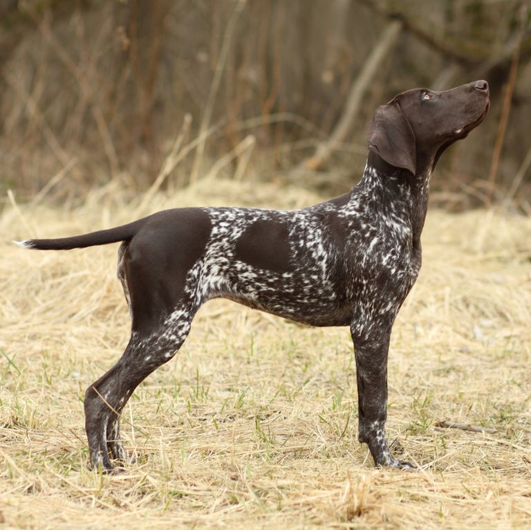 40 Medium Sized Dog Breeds That Are The Perfect First Pet For Any Family German Shorthaired Pointer Dog Large Dog Breeds Dog Breeds