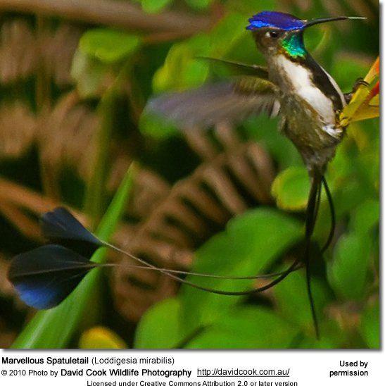 Hummingbirds - Nature Animals Birds Hummingbird Marvellous Spatuletail (Loddigesia mirabilis)