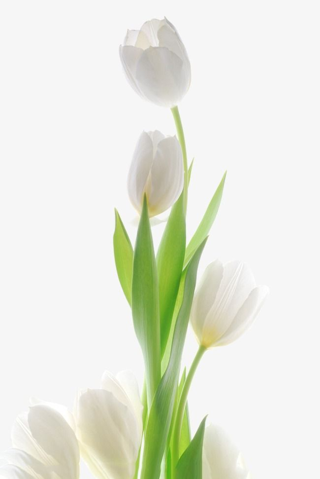 The White Tulip Tulip Clipart White Plant Png Transparent Clipart Image And Psd File For Free Download Pretty Flowers Tulips Flowers Beautiful Flowers