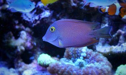 Photo Kole Yellow Eye Tang Ctenochaetus Strigosus Peces