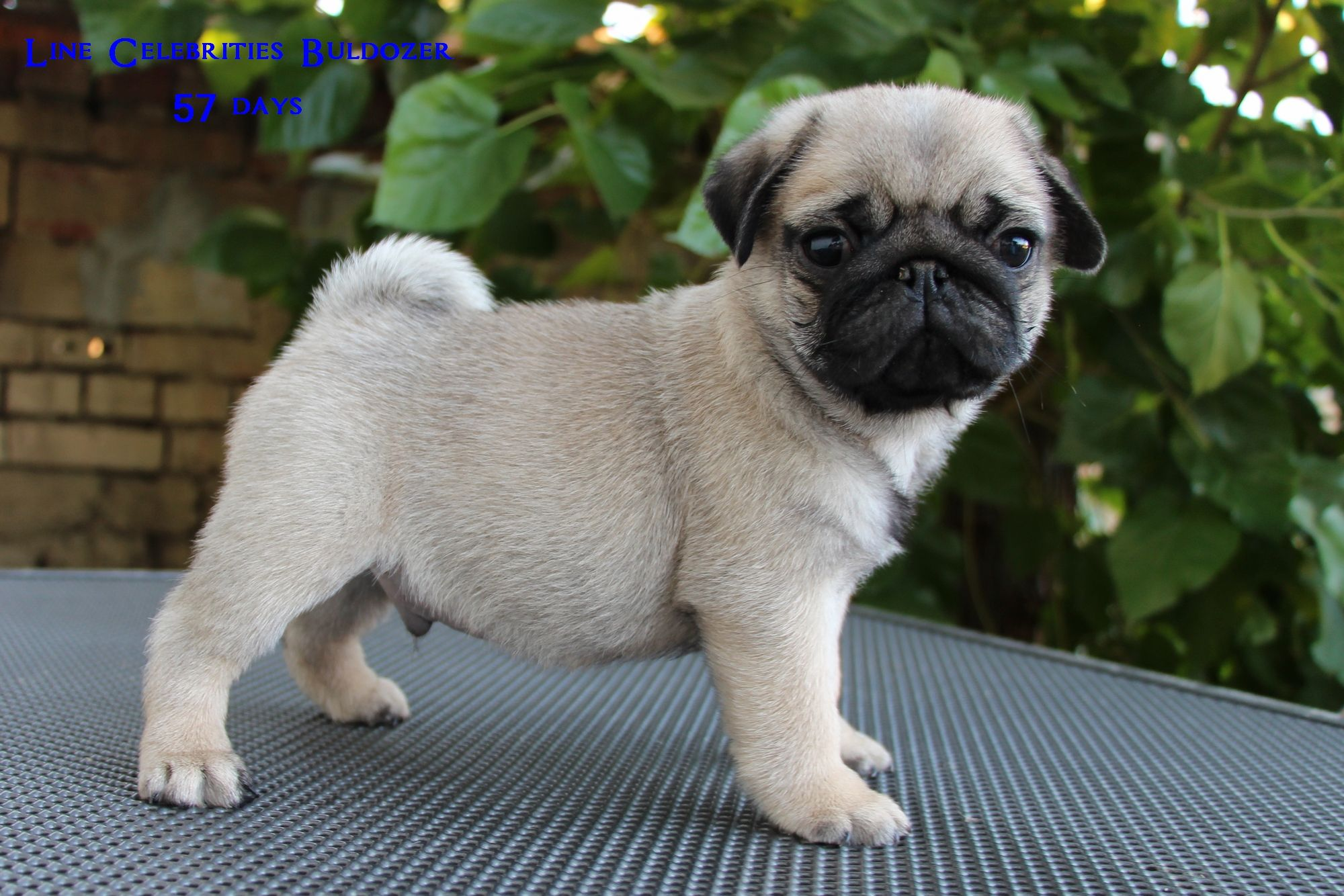 Pug Dog Puppies For Sale Worldwide Delivery