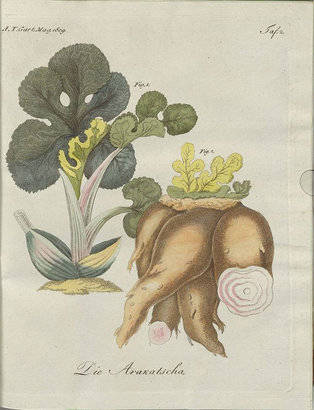 Die Arakatscha (hand-coloured botanical engraving courtesy kulturerbe niedersachsen)