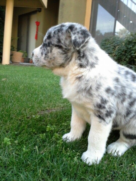 Australian Shepard Queensland Heeler Mix Puppies Heeler Mix