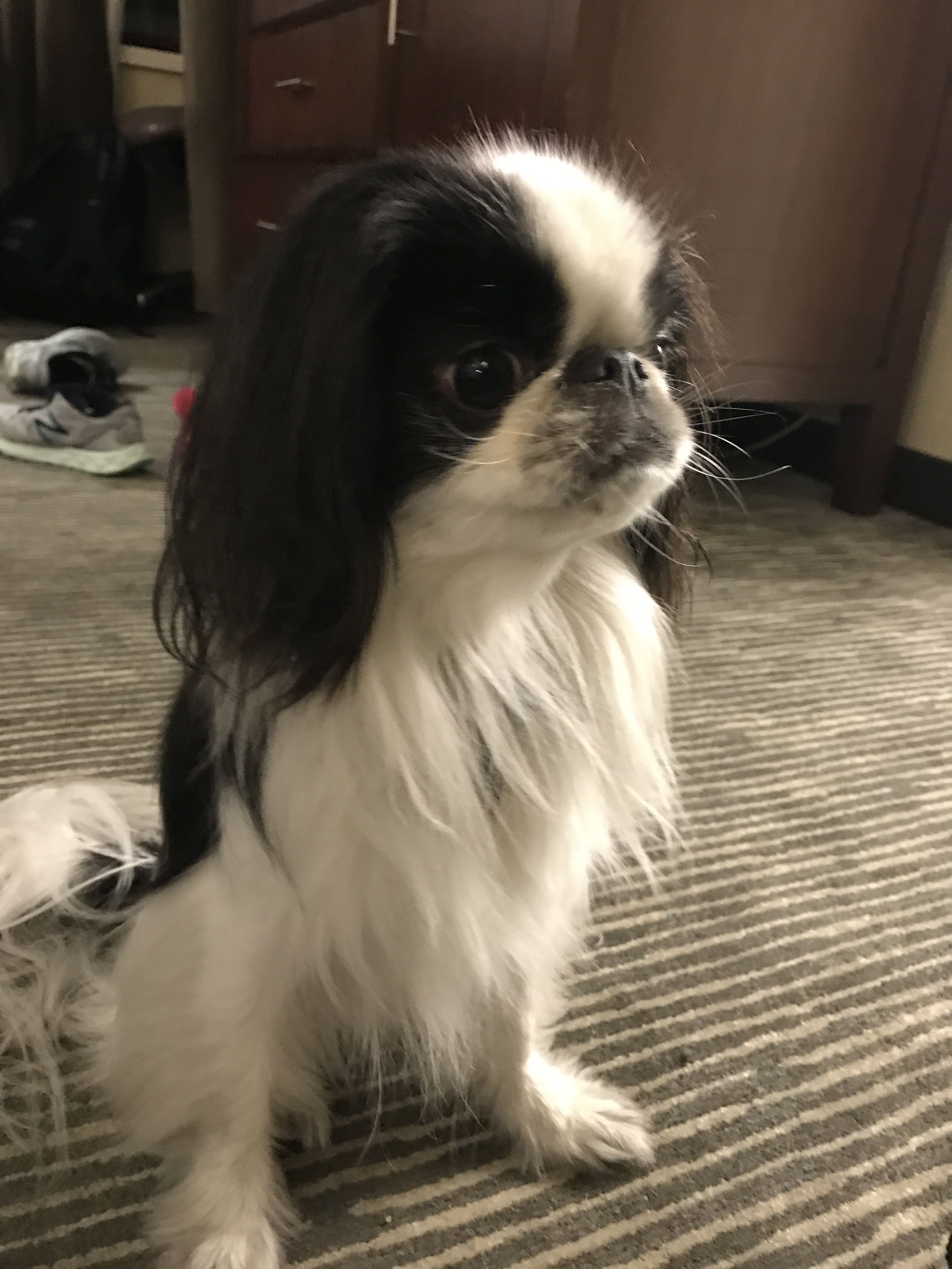 Japanese Chin Image By Sally Marriott On Japanese Chin Doggy