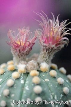 http://www.llifle.com/Encyclopedia/CACTI/Family/Cactaceae/17945/photos/Astrophytum_asterias_cv._Showa_Red_21958_m.jpg