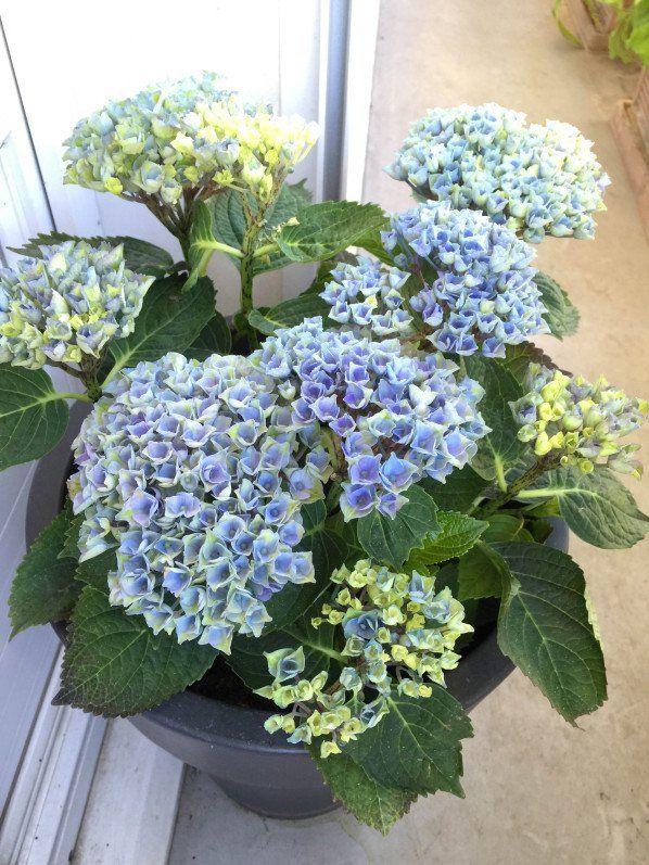 Hortensia Magical Four Seasons Revolution Bleu sur mon #balcon http ...