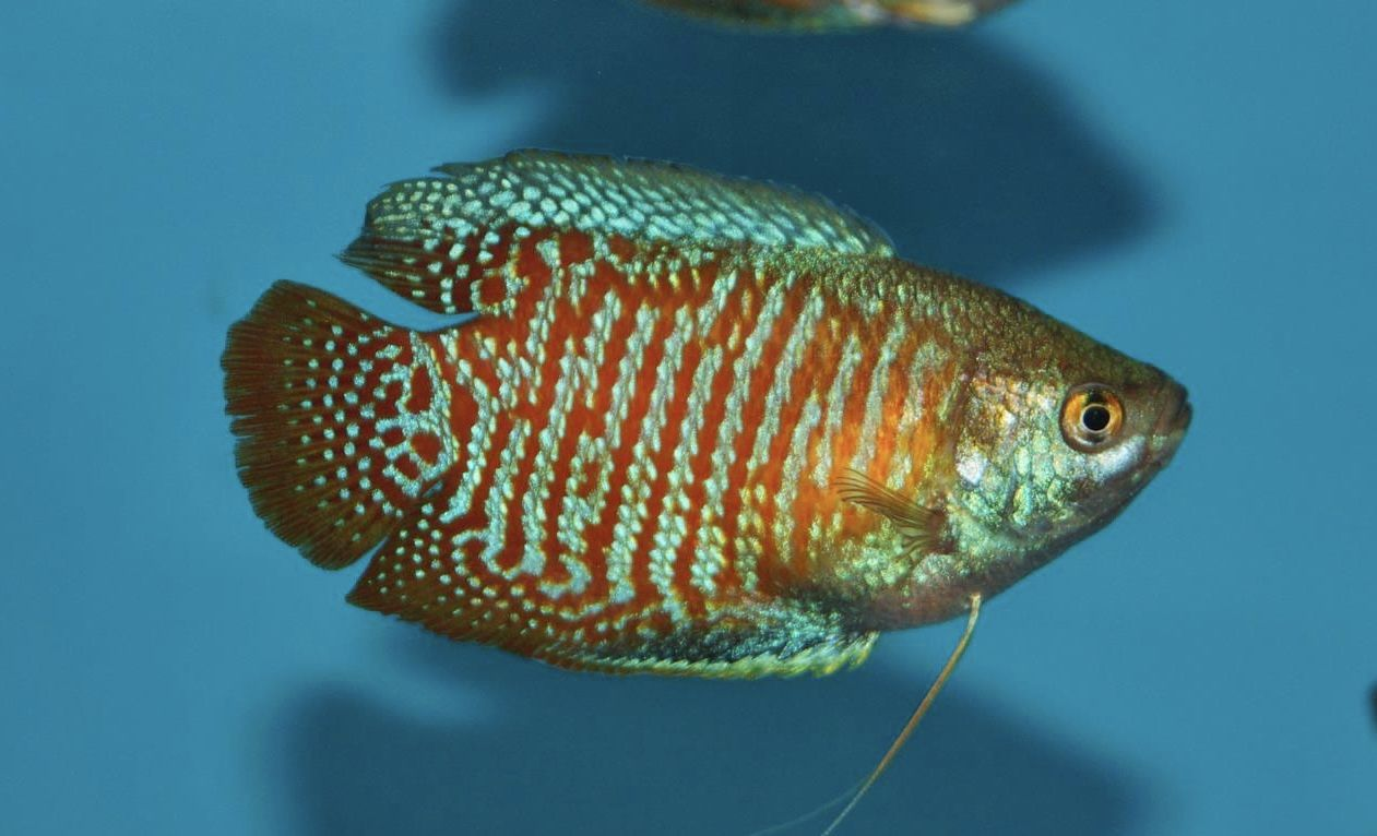 Everything You Need To Know About The Dwarf Gourami Neon Tetra Fish Pet Small Pets
