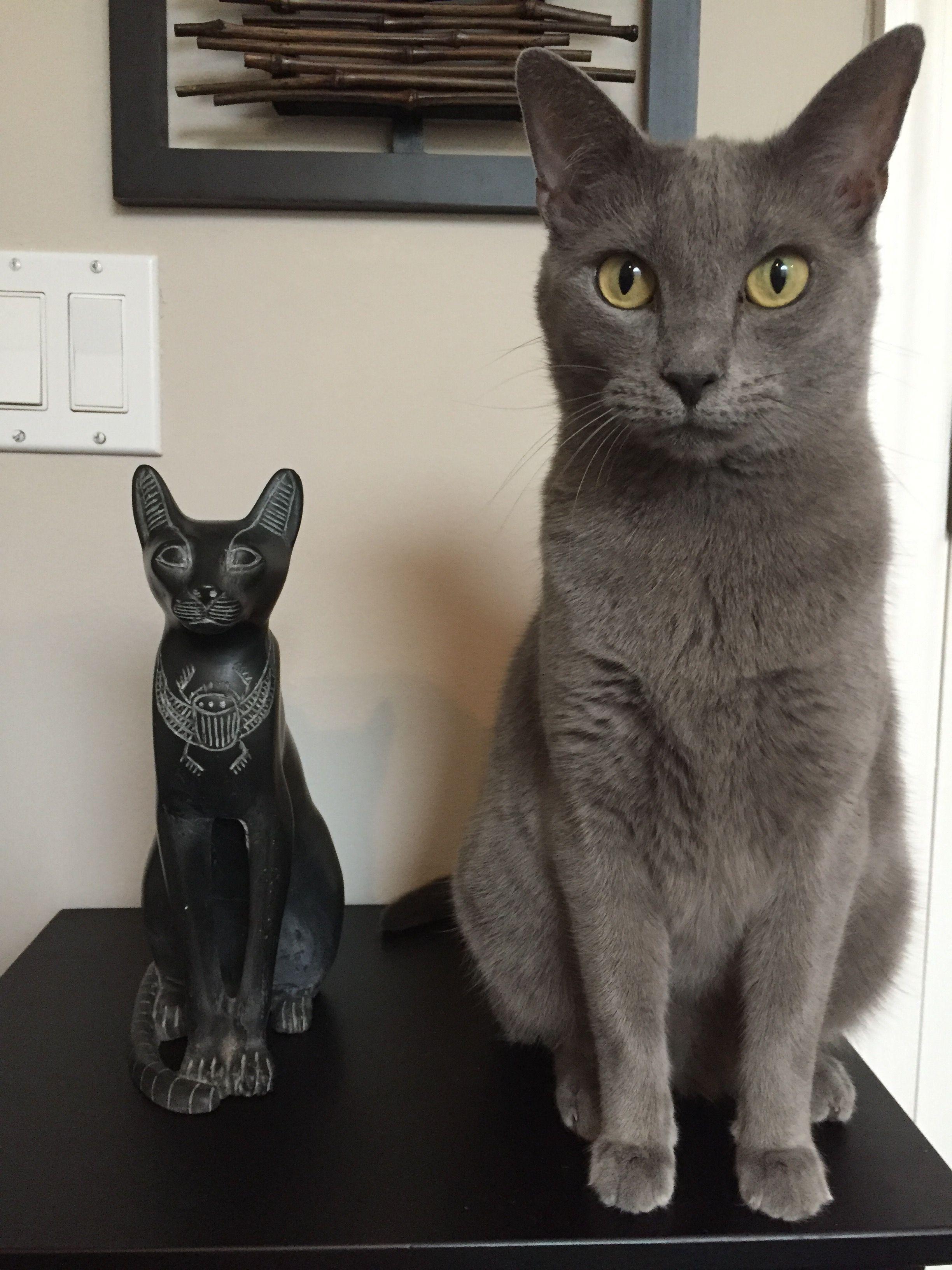 My Beautiful Cat Betty Posing Russian Blue Cat Russian Blue Blue Cats