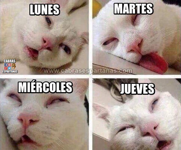 Dias De La Semana Todos Con Sueno Memes De Gatos Divertidos Memes De Animales Tiernos Imagenes Divertidas De Animales