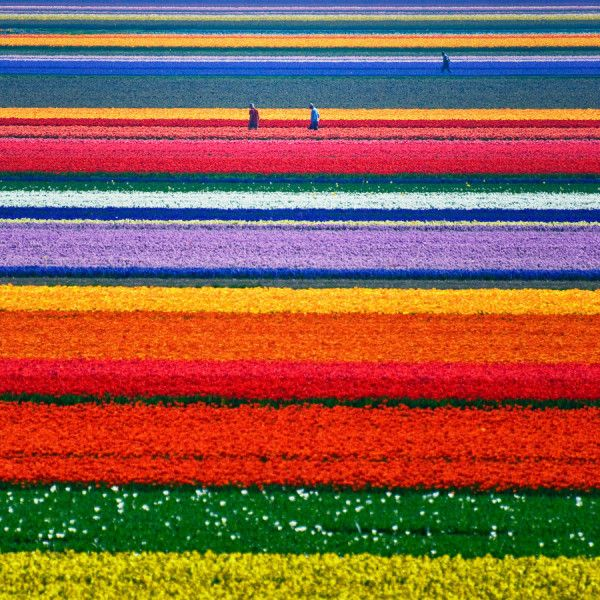 Amazing Multi-coloured Tulip Fields in Northern Holland