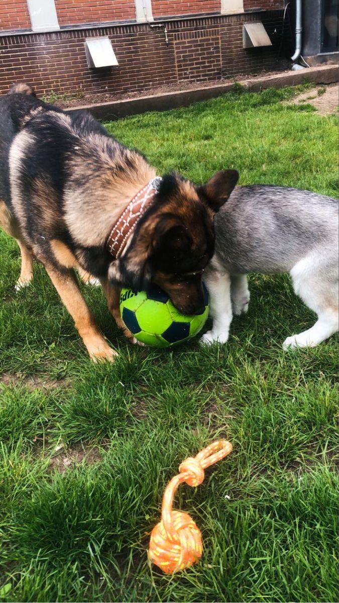 #puppies #germanshepherds #whitedog #dogsofinstagram #doglovers