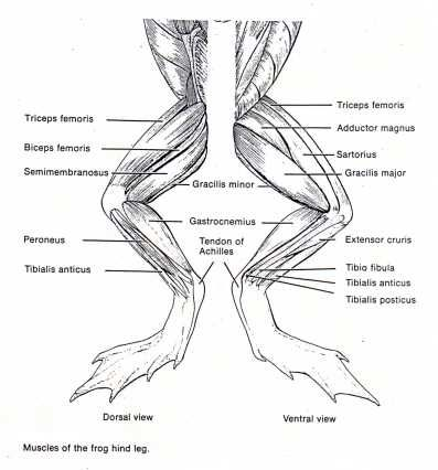 anatomy and frogs on pinterest : frog dissection muscle diagram - findchart.co